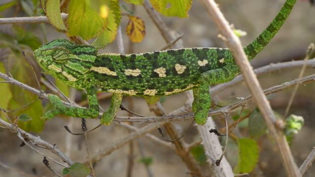 Common Chameleon or Mediterranean Chameleon in a branch - Chamaeleo chameleon video