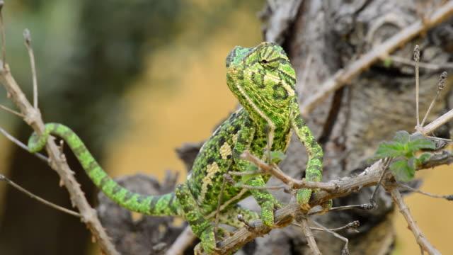 Common Chameleon or Mediterranean Chameleon in a branch video