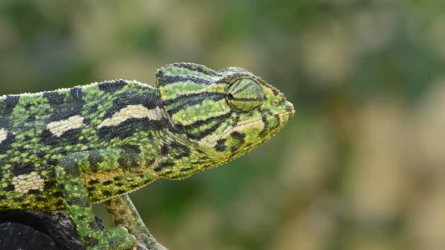 Common Chameleon or Mediterranean Chameleon walking slowly in a tree video