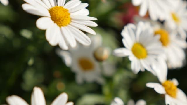 vídeos y material grabado en eventos de stock de hermosa flor blanca lenta inclinación de fondo natural de poca profundidad dof la margarita común - manzanilla