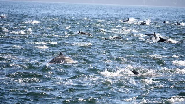 Common Dolphin Dolphin swim in the Santa Barbara Channel near Ventura, California dolphin stock videos & royalty-free footage