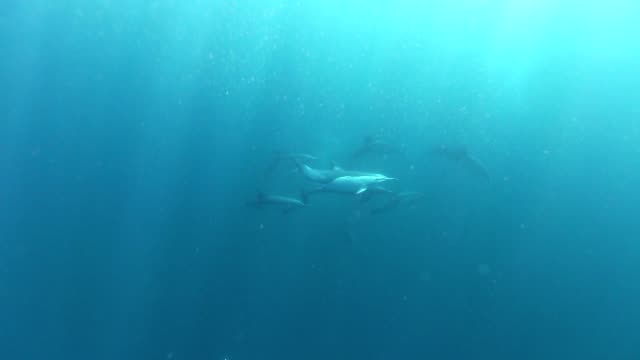 Common dolphins video