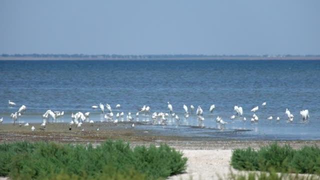 Common egret and seagulls on the shore of the Shagany Lagoon (Tuzlovski Lagoons National Park)