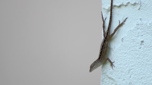 Common Florida Lizard on corner of stucco wall A smaller Florida Anole lizard looks from corner of house gecko stock videos & royalty-free footage