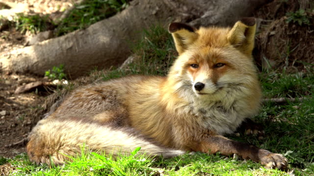 common fox in prairie -  pyrenees - fox stock videos and b-roll footage