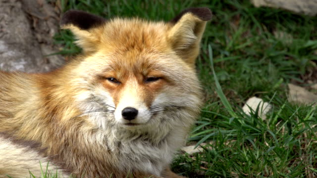 gemensamma fox i prairie - pyrenéerna - djurhuvud bildbanksvideor och videomaterial från bakom kulisserna