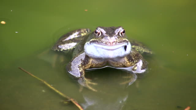 Common Frog  frog stock videos & royalty-free footage