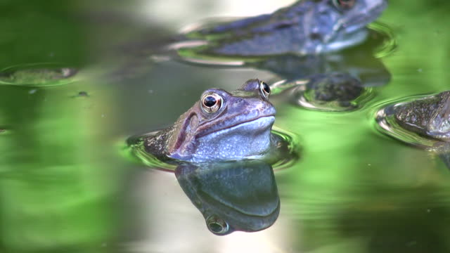 Common Frogs Common Frogs with sound. frog stock videos & royalty-free footage