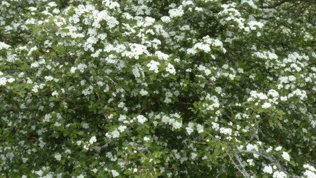vanliga hagtorn (crateagus monogyna) i blomma 4k - 4 kilometer bildbanksvideor och videomaterial från bakom kulisserna