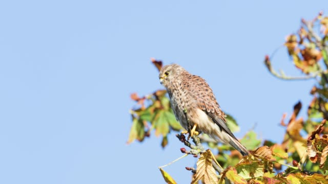Common kestrel perched in a tree on a windy day