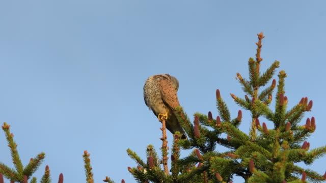 A Common Kestrel sitting on a spruce