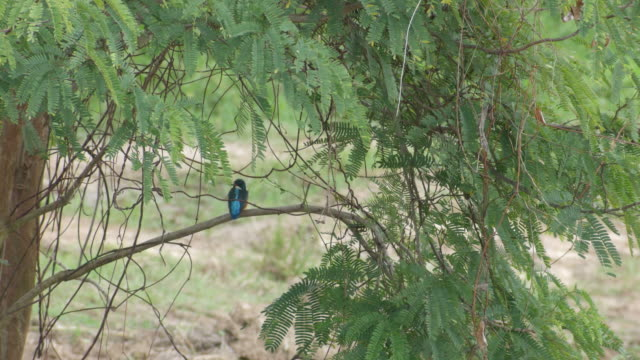 Common kingfisher resting on the tree branch video