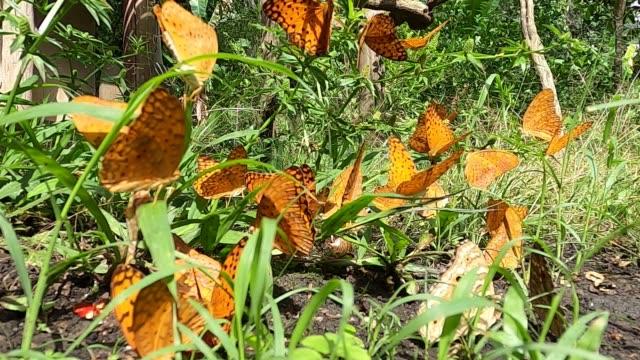 farfalla leopardo comune - farfalla ramo video stock e b–roll