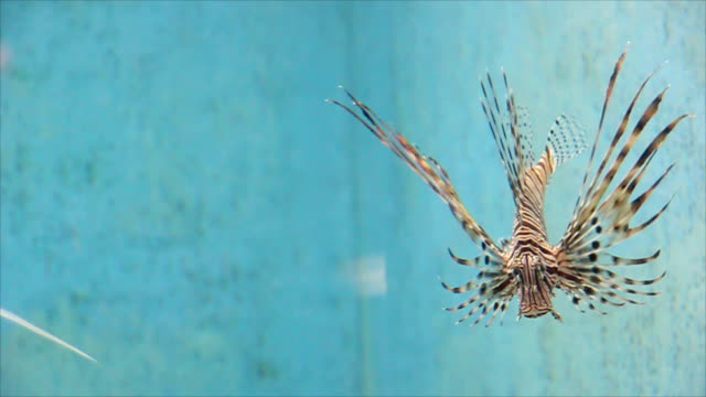 Common Lionfish or Miles' firefish. video