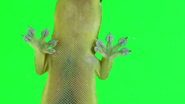 Common lizard or House geckos a small reptile moving on green screen. Common lizard or House geckos a small reptile moving on green screen. Detail of Asian common house gecko. Free copy space. gecko stock videos & royalty-free footage