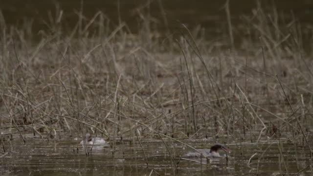 common merganser or goosander (mergus merganser) female - altai nature reserve - appollaiarsi video stock e b–roll