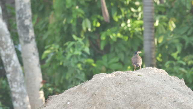 common myna on the soil pile video