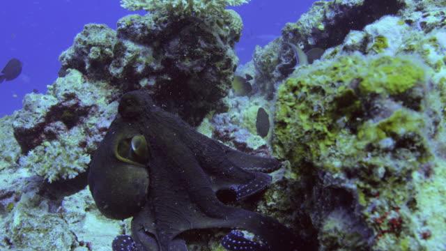 vídeos y material grabado en eventos de stock de pulpo común cazando en la gran barrera de coral. cámara lenta, cámara roja. - palaos
