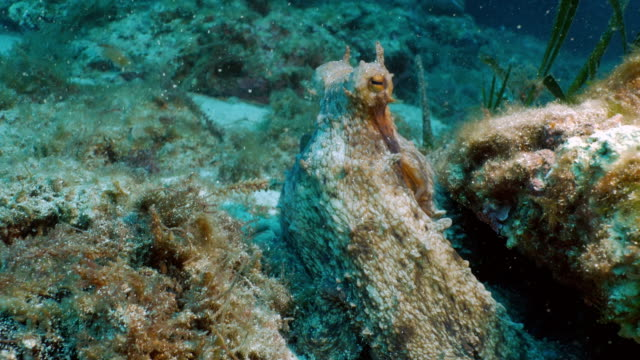 Common octopus looks out of his hiding place video