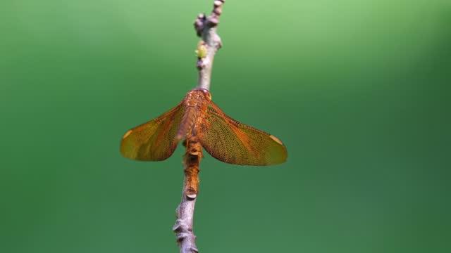 ombrellone comune, neurothemis fluctuans; arroccato su un ramoscello, muove la testa, transizione bokeh verde. - libellulidae video stock e b–roll