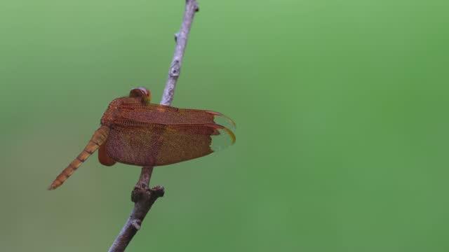 ombrellone comune, neurothemis fluctuans; arroccato sul ramoscello nudo, lato sinistro della cornice - libellulidae video stock e b–roll