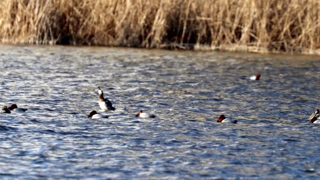 Bидео Common Pochard ducks swimming in the lake (Aythya ferina)
