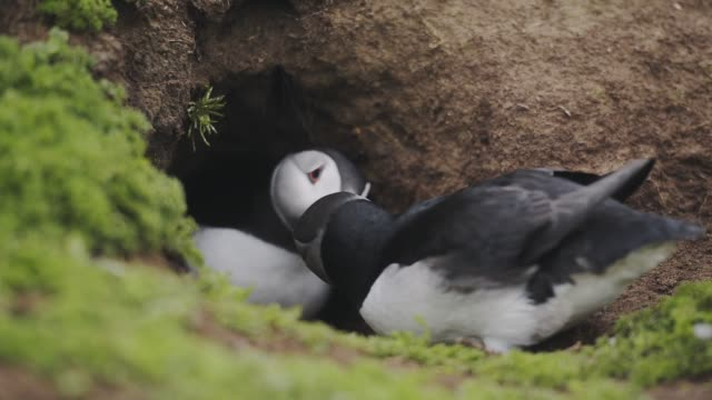 Common Puffins Playing WIth Their Colorful Beaks On The Burrow In Skomer Island. -medium shot
