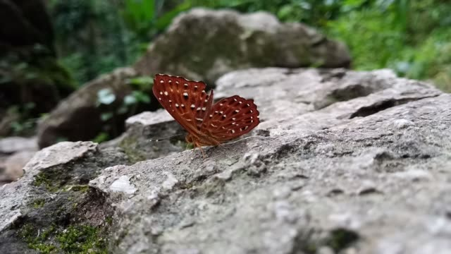 common punchinello butterfly - torace animale video stock e b–roll