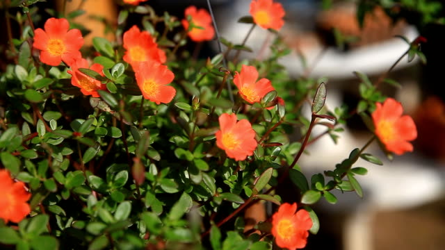 common purslane flower blooming at morning. - porcellana video stock e b–roll