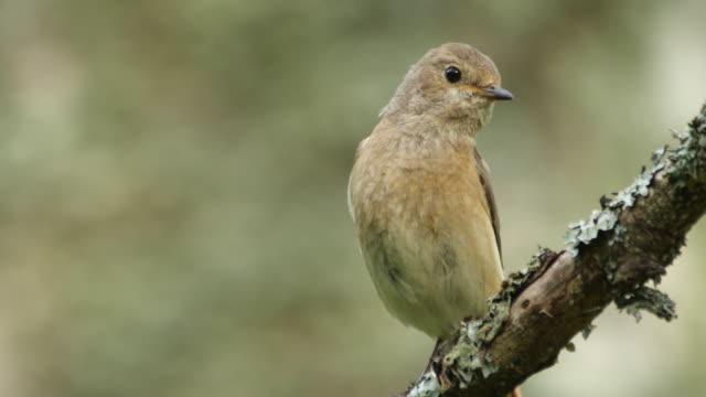 common redstart (phoenicurus phoenicurus) singing on the tree - appollaiarsi video stock e b–roll