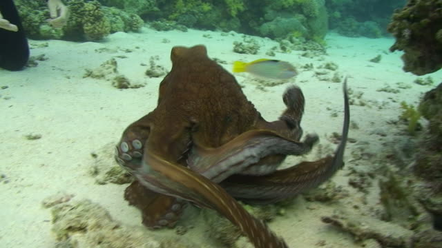 common reef octopus - octopus stock videos & royalty-free footage