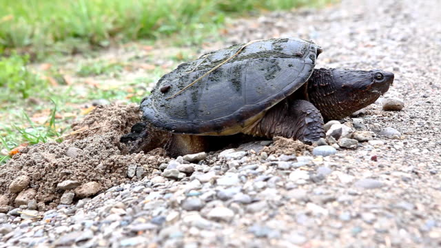 Common Snapping Turtle, Chelydra serpentina, laying eggs at road edge A Common Snapping Turtle, Chelydra serpentina, laying eggs at road edge snapping turtle stock videos & royalty-free footage