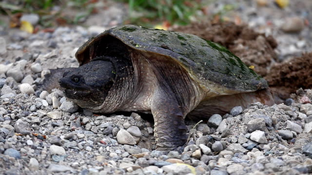 Common Snapping Turtle, Chelydra serpentina, laying eggs in field A Common Snapping Turtle, Chelydra serpentina, laying eggs in field snapping turtle stock videos & royalty-free footage