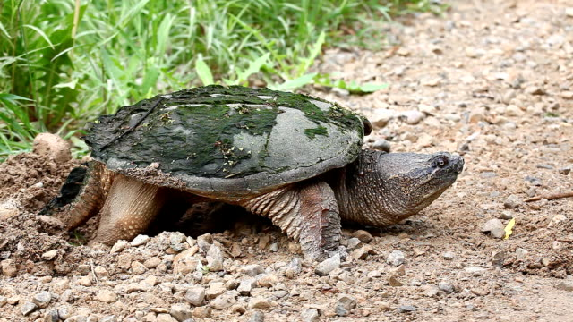 Common Snapping Turtle, Chelydra serpentina, laying eggs A Common Snapping Turtle, Chelydra serpentina, laying eggs snapping turtle stock videos & royalty-free footage