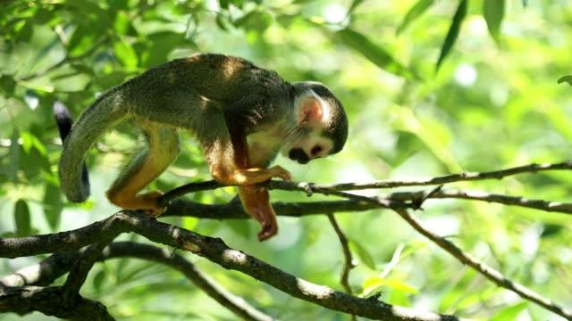 Common squirrel monkey (Saimiri sciureus) on tree in the nature. Wildlife animals.