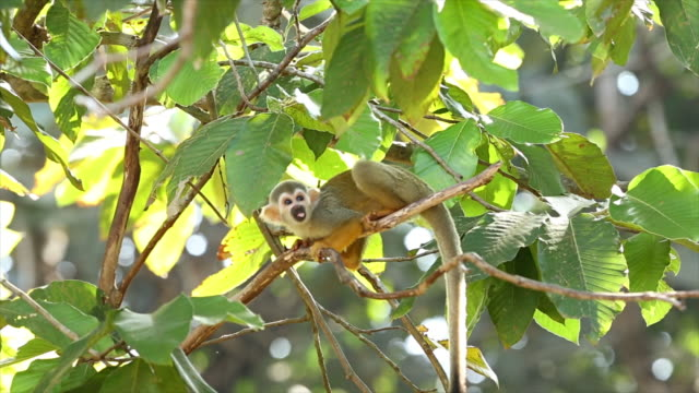 Common squirrel monkey video