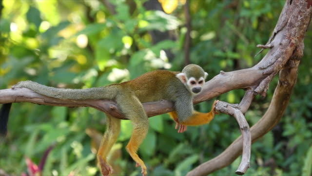 Common squirrel monkeys. Common squirrel monkeys playing on a tree branch amazon stock videos & royalty-free footage