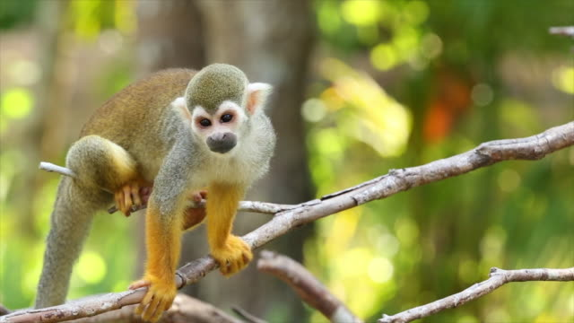 Common squirrel monkeys. Common squirrel monkeys playing on a tree branch mammal stock videos & royalty-free footage