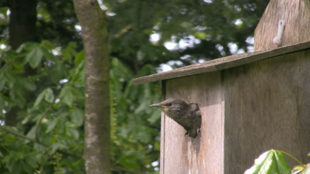 Common Starling chick in nest box video