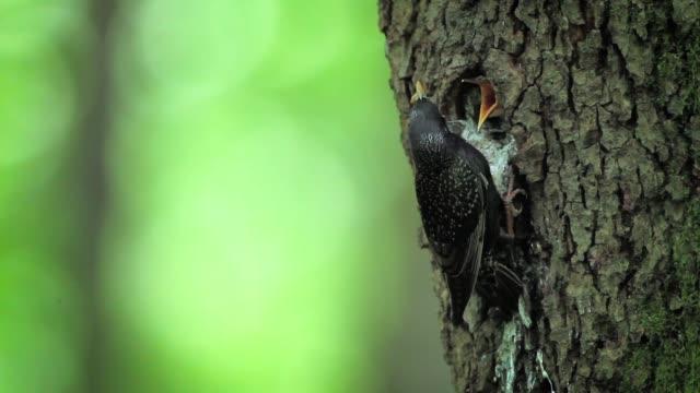 gemeinsamen starling in vogesen, frankreich - nest stock-videos und b-roll-filmmaterial