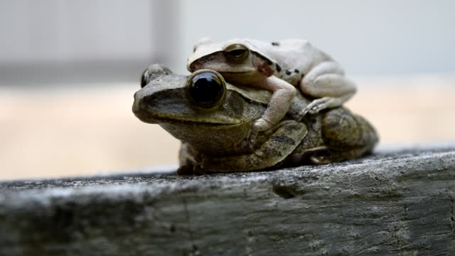 Common tree frog mating