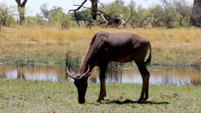 Common tsessebe (Alcelaphus buselaphus) graze video