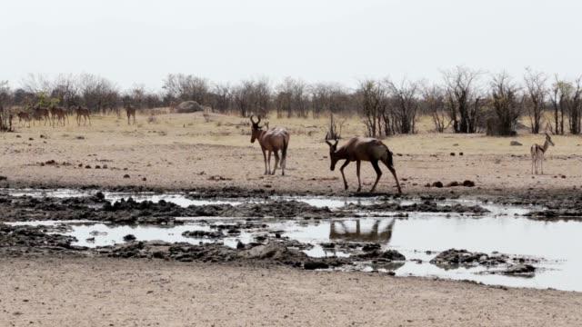 Common tsessebe (Alcelaphus buselaphus) on waterhole video