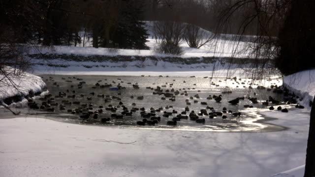 コミュニティーのアヒル池がプールで承ります(高解像度) - 水鳥点の映像素材/bロール