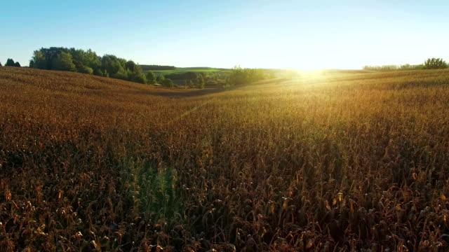 Vue de 4K de Compilation. Vol et décollage au-dessus de champ de maïs au golden sunset, antenne panoramique Découvre - Vidéo