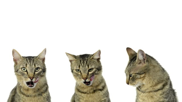 Composition of cats looking around and licking their lips video