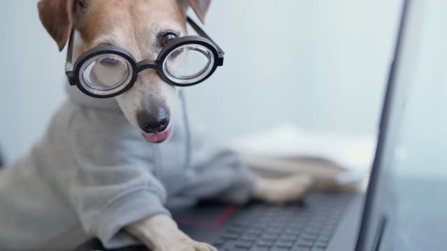 computer laptop using by funny nerd dog in jumper. - video