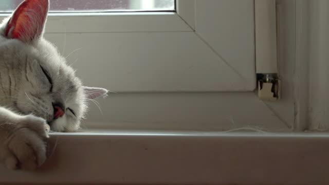 猫の毛アレルギーの源としての概念。アレルギー、イギリスの猫と春の脱皮のための薬 - ふわふわ点の映像素材/bロール