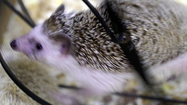 Concept of office hard work, race, stress, workaholic. hedgehog in wheel like squirrel in wheel loopable video
