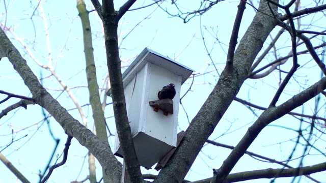 Concept of spring, family home and relations. Starling in the birdhouse. Birds build a family video